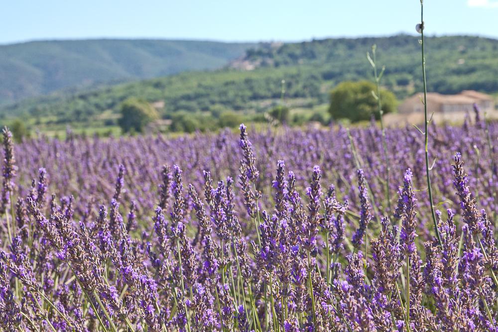 provence_lavendel_feld_gordes_abbaye_de_senanque_02