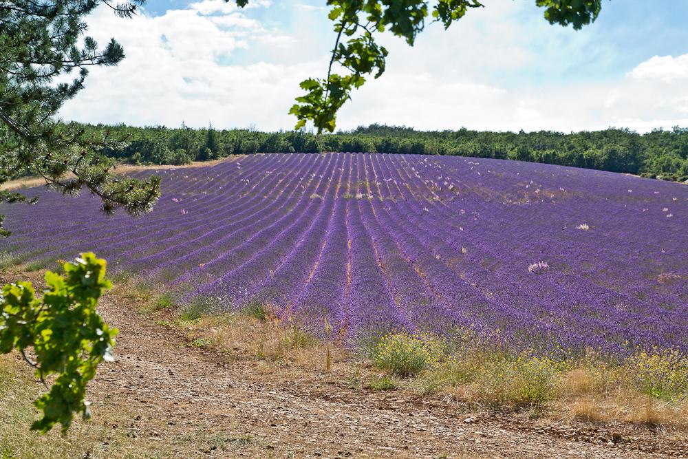 provence_lavendel_feld_gordes_abbaye_de_senanque_10