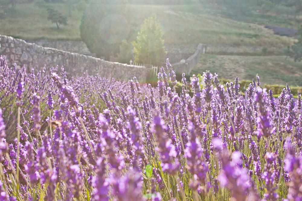 provence_lavendel_feld_gordes_abbaye_de_senanque_14