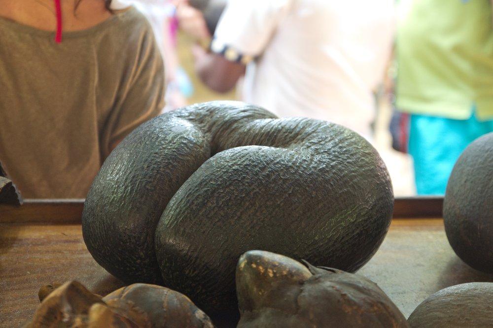 Seychellen_Praslin_Vallee-de-Mai_Coco-de-Mer_Black-Parrot_Cote-d-Or_06