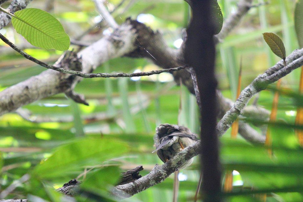 Seychellen_Praslin_Vallee-de-Mai_Coco-de-Mer_Black-Parrot_Cote-d-Or_08