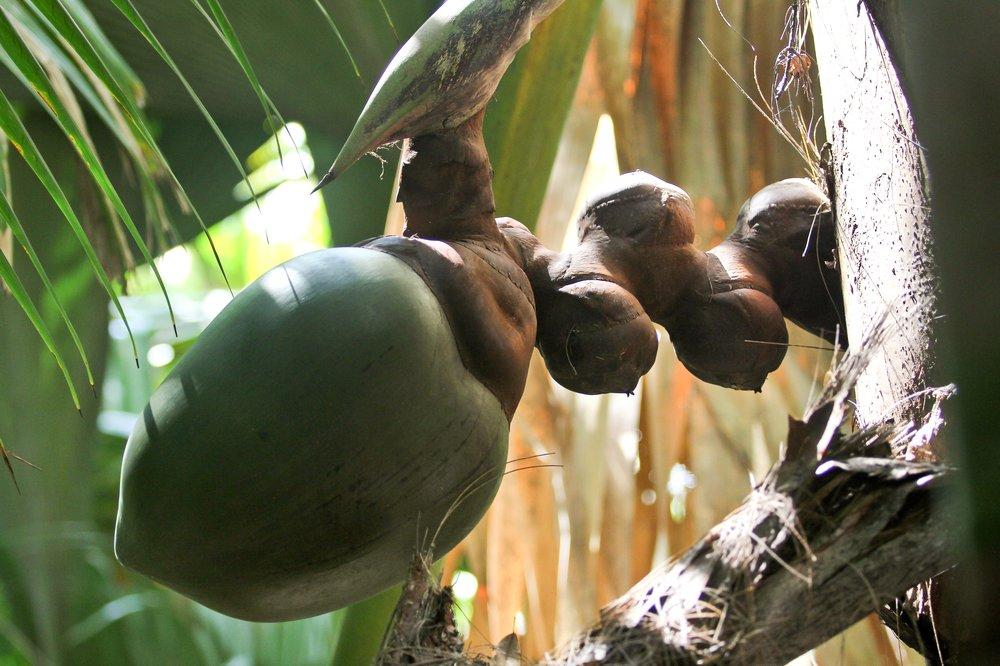 Seychellen_Praslin_Vallee-de-Mai_Coco-de-Mer_Black-Parrot_Cote-d-Or_09