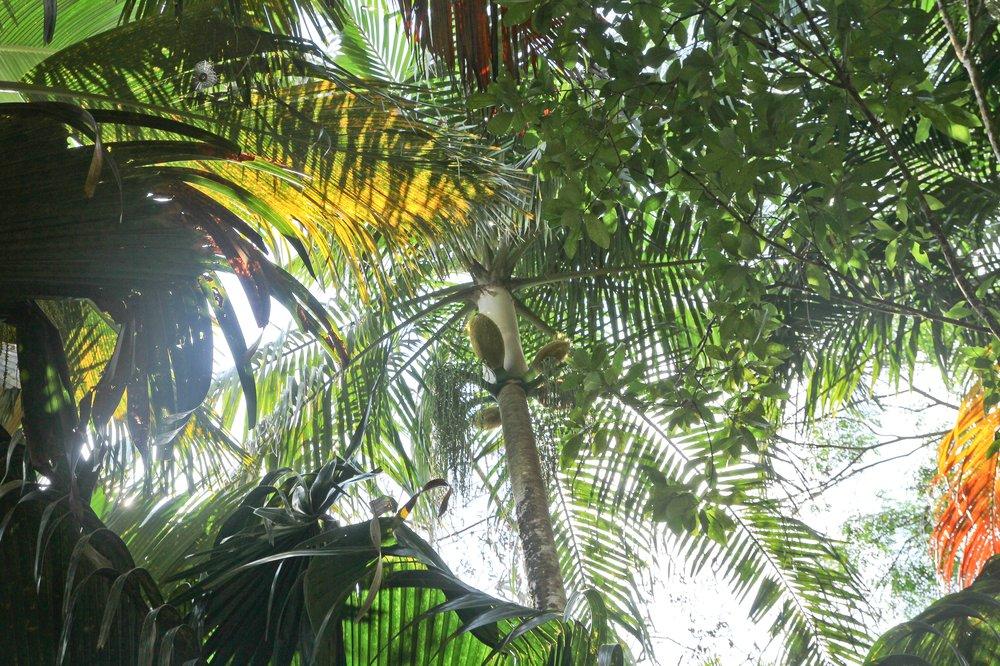 Seychellen_Praslin_Vallee-de-Mai_Coco-de-Mer_Black-Parrot_Cote-d-Or_11