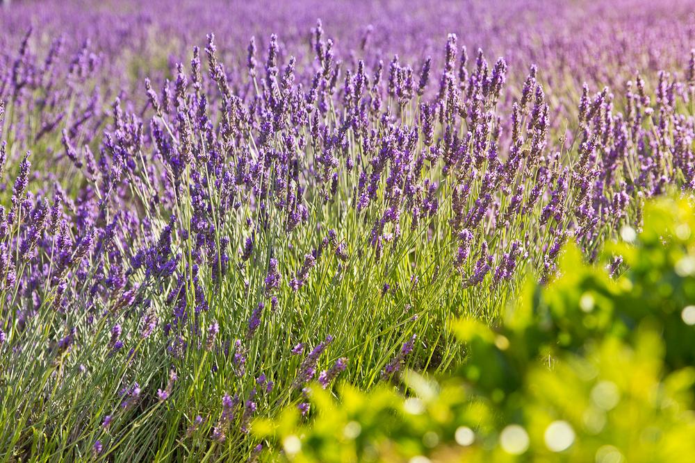 provence_lavendel_feld_gordes_abbaye_de_senanque_16